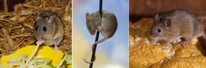 El ratón doméstico plaga de las casas