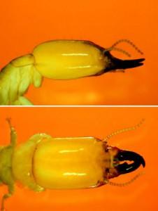 diferenciar termitas