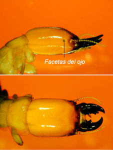 diferentes especies termitas imagenes
