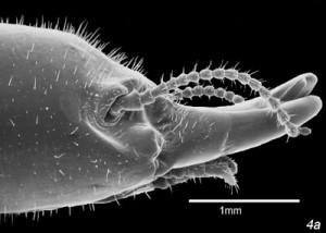 diferenciacion de termitas. Imagenes termitas