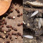 Como saber si tenemos termitas en casa