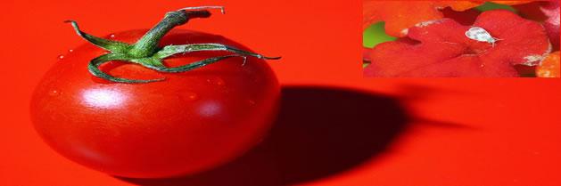 La mosca blanca ya no podrá arruinar sus tomates