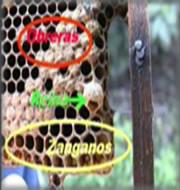 zangano-abeja-reina